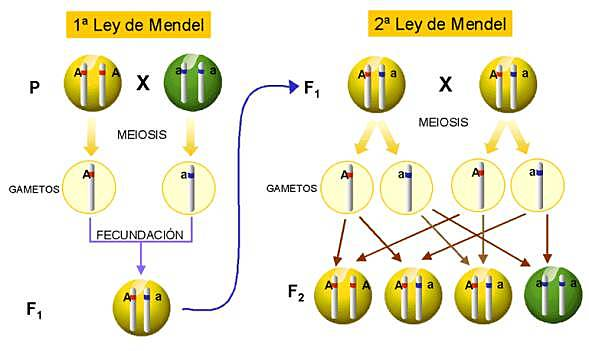 Segunda Ley de Mendel:
