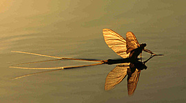 Palingenia longicauda ( A tiszavirág) timeline