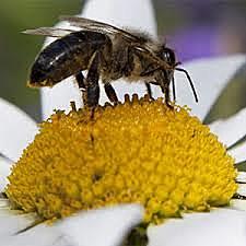Polinización por Insectos