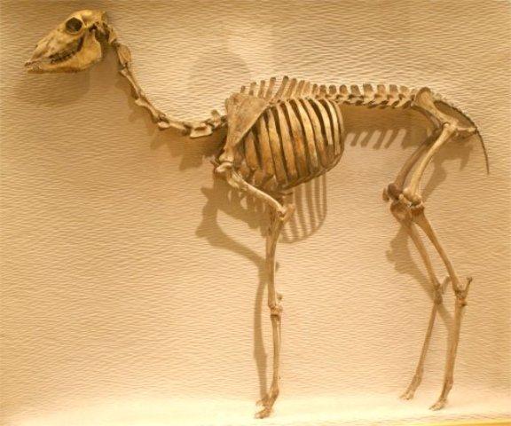 Middle Eocene Camel