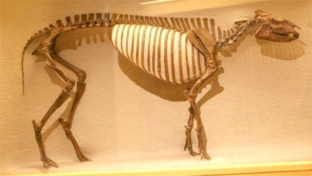 Early Eocene Tapir