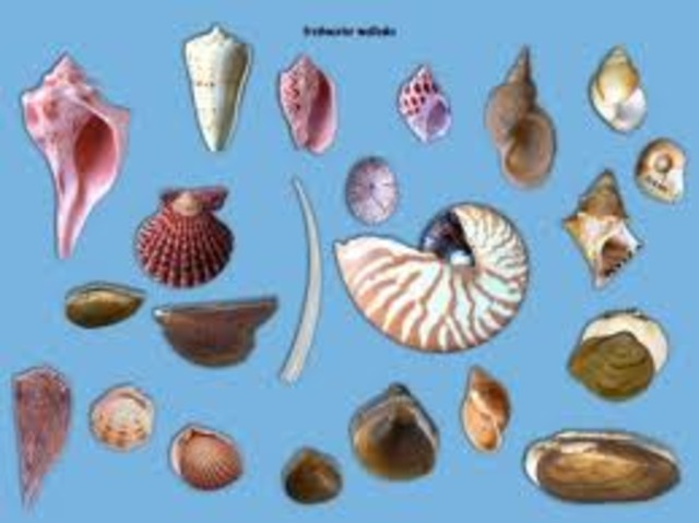 Hard-Shelled Mollusks Appear
