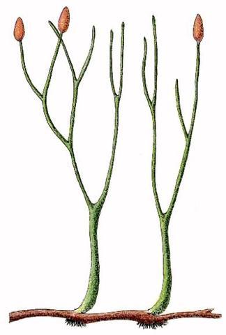 First Vascular Plants Evolve