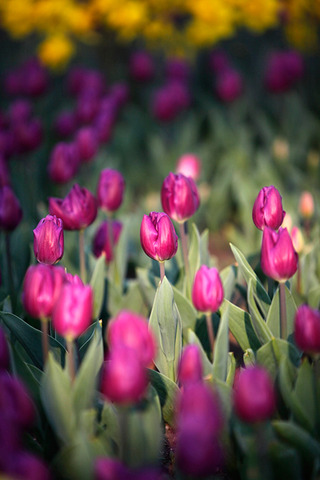 Editor's Pick Lost in tulip clouds in Hangzhou