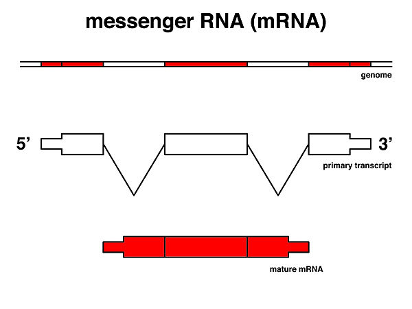Messenger RNA discovered