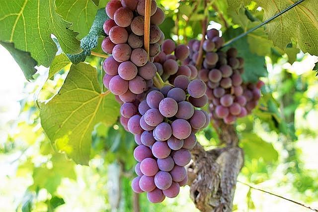 Ahab and Naboth's Vineyard