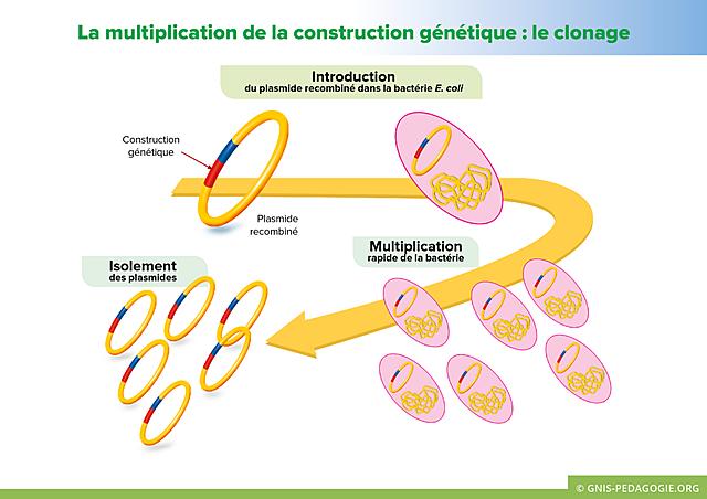 Clonage de la bactérie Escherichia coli