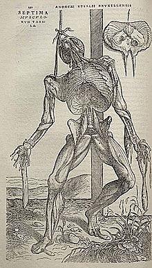 Vesalius i les disseccions del cos humà.