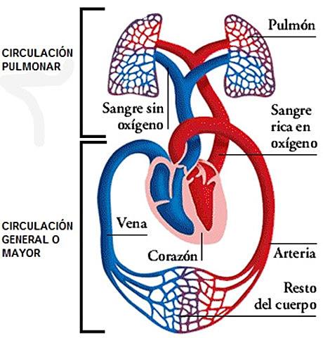Descobreix la circulació pulmonar (o menor) de la  sang.