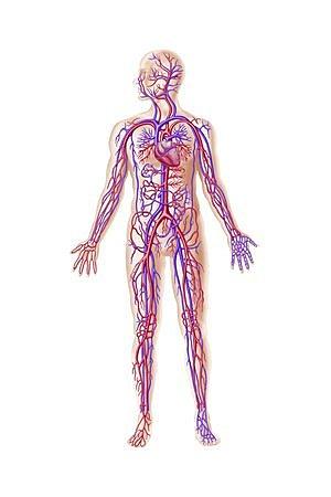 La circulació pulmonar de la sang