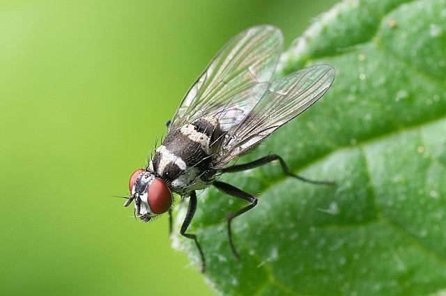 Le mosche possono diffondere l'infezione da coronavirus