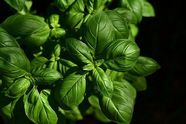 Gli oli essenziali delle piante aromatiche del  basilico, rosmarino, origano, proteggono dal nuovo coronavirus
