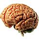 298 b.jpgמוח
