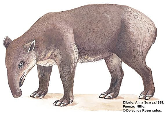 Danta o Tapir centroamericano