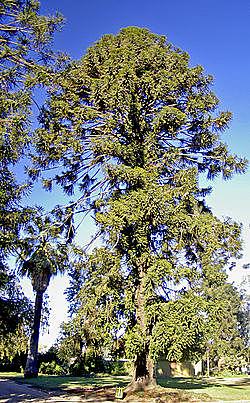 Araucaria mirabilis.