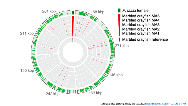 Marmorkrebs genome published