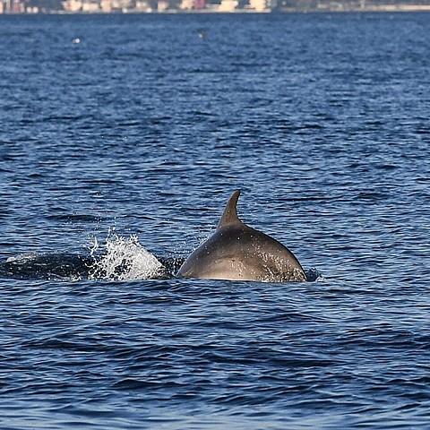 Dolphins take advantage of Turkey's lockdown to explore Istanbul's Bosphorus