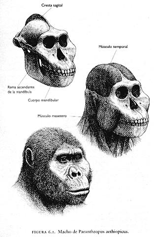 Paranthropus aethiopicus.