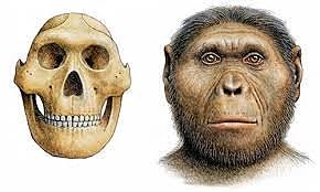 Paranthropus robustus hece 1.9 millones de años