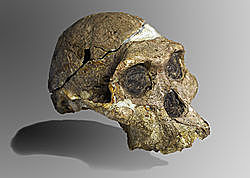 aparición del Australopithecus africanus