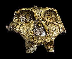 aparición del Paranthropus robustus