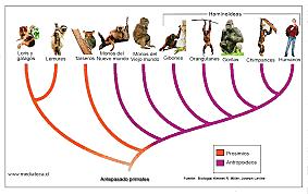 HISTORIA EVOLUTIVA DE LOS PRIMATES EN PARTICULAR (55 MILLONES DE AÑOS A PRINCIPIOS DEL MIOCENO HACE 25 m.a)