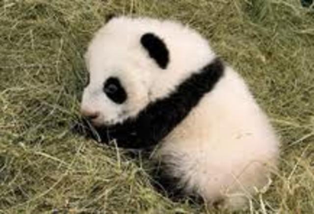 Panda is born