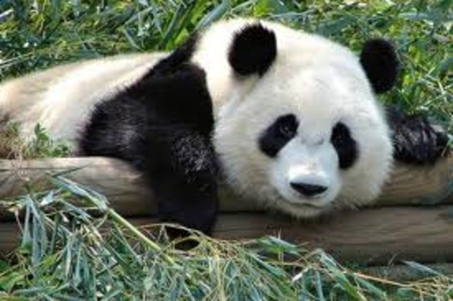 At 2  years old, the panda bear leaves its mother and begins life alone.