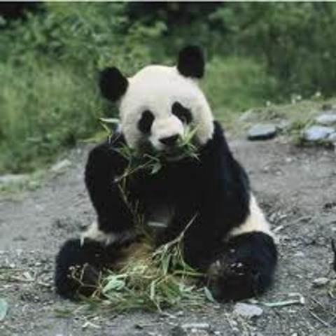 at 6 years, the panda bear is now fully grown and will spend most of its day eating bamboo.