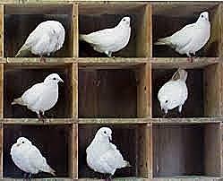 """Skinner realiza el experimento de """"la superstición de las palomas"""""""