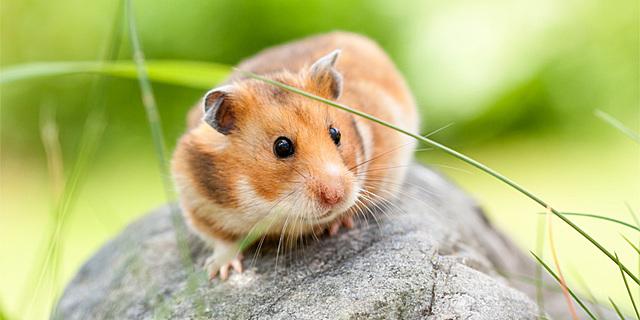Mor el meu hamster