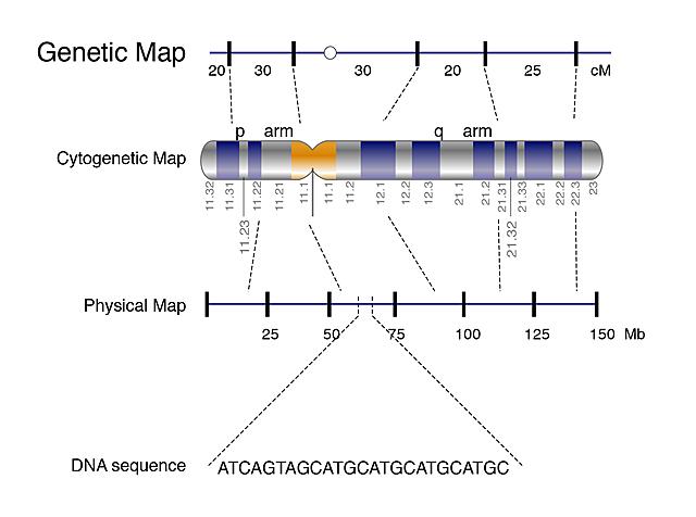 Human Gene Map Created