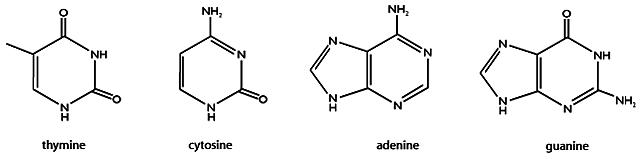 Albrecht Kossel eta base nitrogenatuak
