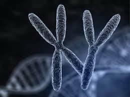 Установлена кількість хромосом людини