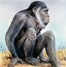 Sivapithecus (12,5 milions d'anys)