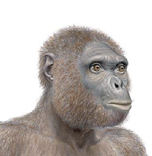 Ardipithecus (4,5 milions d'anys)