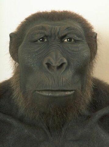 Paranthropus  (2,6 milions d'anys)
