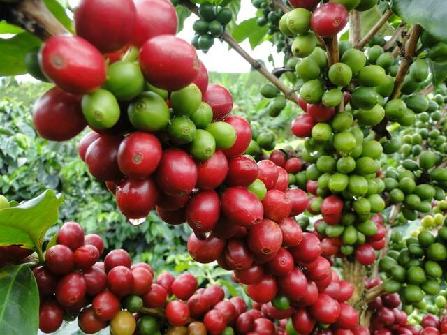 Llegada del café a Venezuela