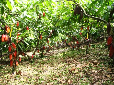 El cacao como primer cultivo exportable