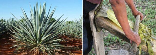Inicia el cultivo de sisal en Venezuela
