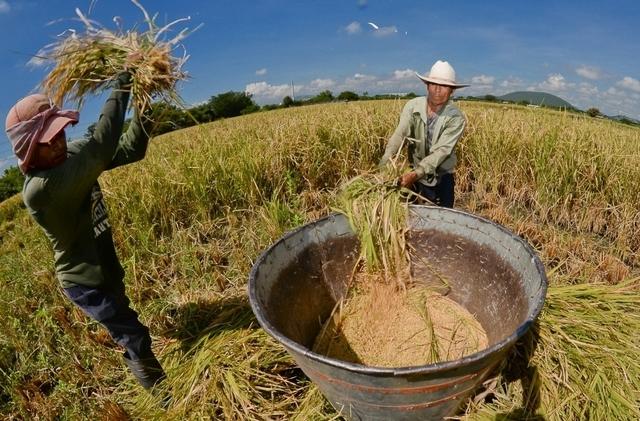 Producción de arroz en Venezuela