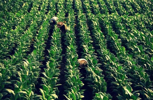 Producción de tabaco