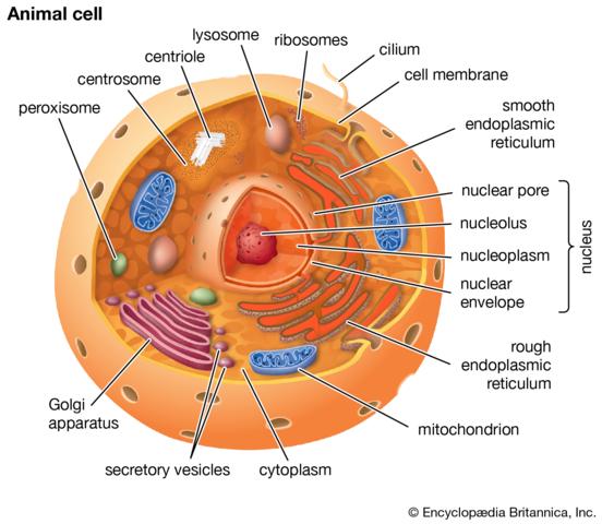 De første eukaryote organismer