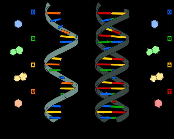 Aminosyrer og RNA