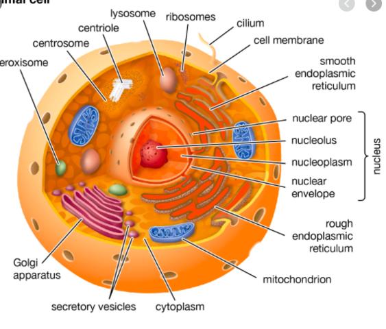 Eukaryote organsimer