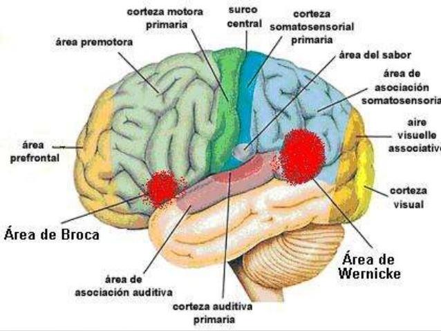 Las corticales cerebrales