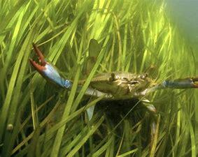 Blue Crab Population Decrease