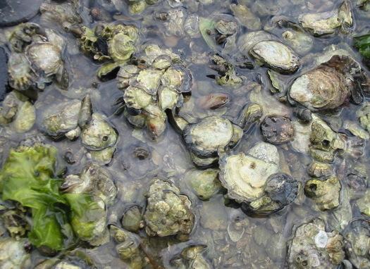 SAV and Oysters