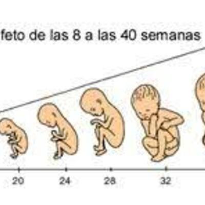 Desarrollo Prenatal - Parto timeline