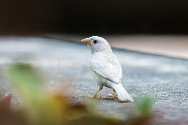 Publicação do primeiro relato sobre o pardal albino